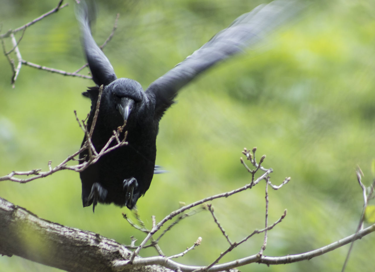 one animal, tree, animals in the wild, branch, animal wildlife, black color, nature, no people, outdoors, animal themes, day, mammal, close-up