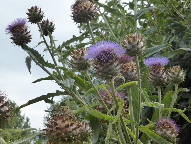 Artichoke Thistle Botany Cardoon Close-up Flower Flower Head Nature Plant Purple Suffolk Thistle