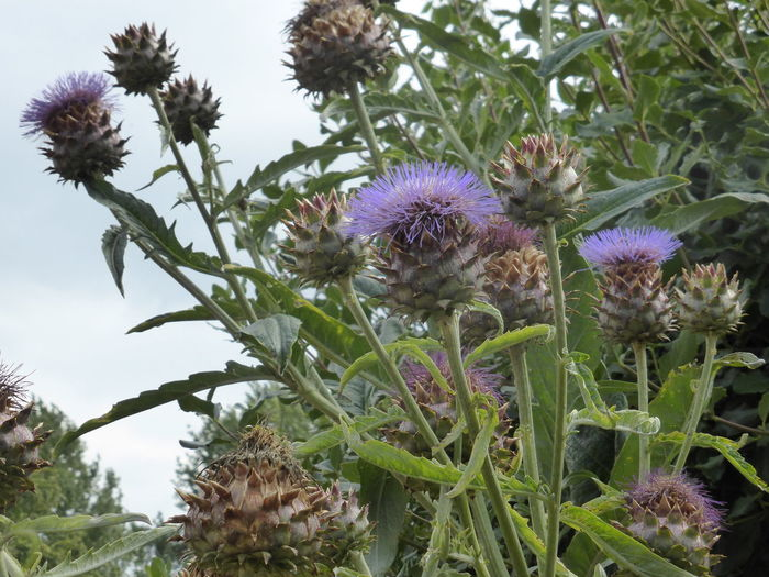 Artichoke Thistle Botany Cardoon Close-up Flower Flower Head Nature Plant Purple Suffolk Thistle