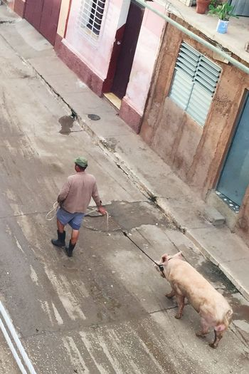 Pig Cuba Streets Street Life Walking Around The City  Try So Hard To Be Who I Want To Be...but Because Who I Wanna Be Doesn't Meet Your Requirements You Shoot Me Down && Put A Leash Around My Neck...