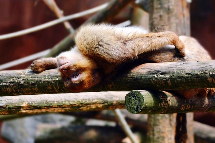 Relaxing Monkey Animal Themes Mammal One Animal Sleeping Outdoors