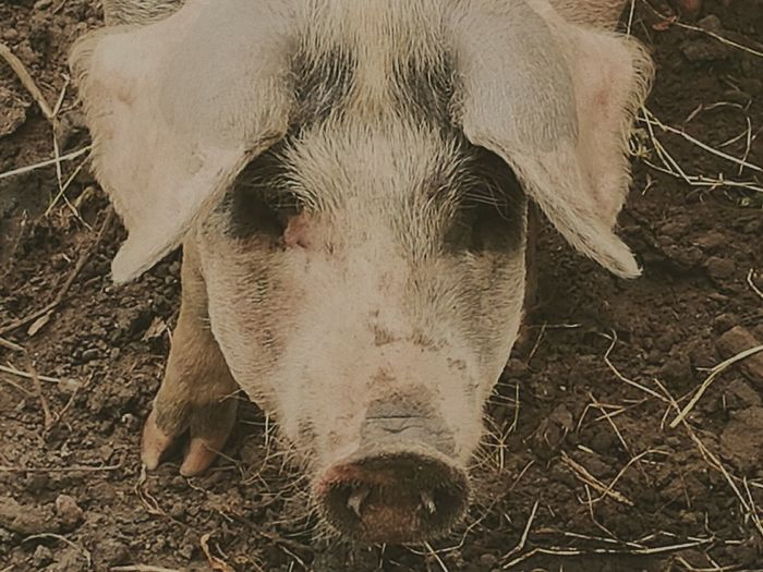 Pigs Pig Pig Nose Farm Life Farm Animals Farm Animal Farm Creatures