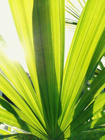 Growth Palm Leaf Leaf Nature Palm Tree Green Color Close-up Plant Frond Day Backgrounds Tree Beauty In Nature Outdoors No People Fragility Freshness Leaves 🍁 Leaf 🍂 Leaves🌿 Nature Full Frame Travel Destinations TraveladdictSky