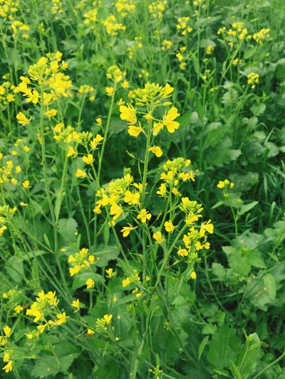 Yellow Flower Growth Nature Beauty In Nature Plant Field Springtime Fragility Blossom Vibrant Color Freshness Mustard Plant Green Color Rural Scene Oilseed Rape No People Close-up Outdoors Day