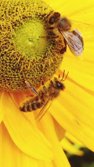 Worker Bees Collecting Pollen Room For Two Summer Flowers Park In My City London Nature Photography