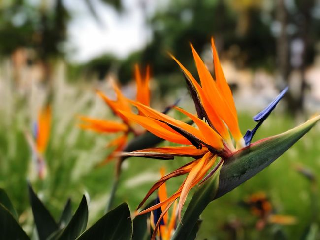 EyeEm Selects Flower Growth Bird Of Paradise - Plant Nature Beauty In Nature Petal Orange Color Freshness Fragility Flower Head Plant Close-up Blooming Focus On Foreground Outdoors Day No People IPhone7Plus
