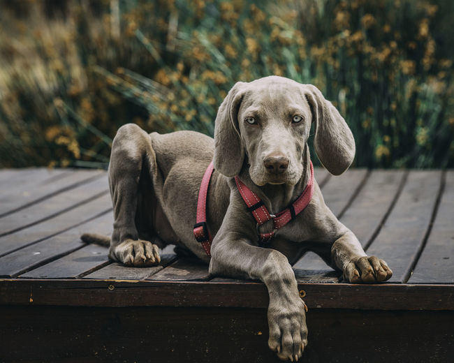 Canine Dog Mammal One Animal Domestic Pets Domestic Animals Portrait Looking At Camera Relaxation Vertebrate Focus On Foreground Day Sitting No People Wood - Material Weimaraner