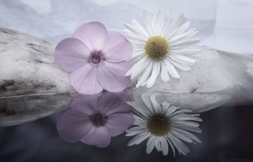 Flower Reflection Flower Fragility Nature Petal Flower Head Freshness Beauty In Nature Blooming Growth No People Close-up Pollen Plant Day Outdoors Sky Reflection Sethtrudeau Photography Flower Reflection Rock Pink Flower White Flower Flowers Pretty