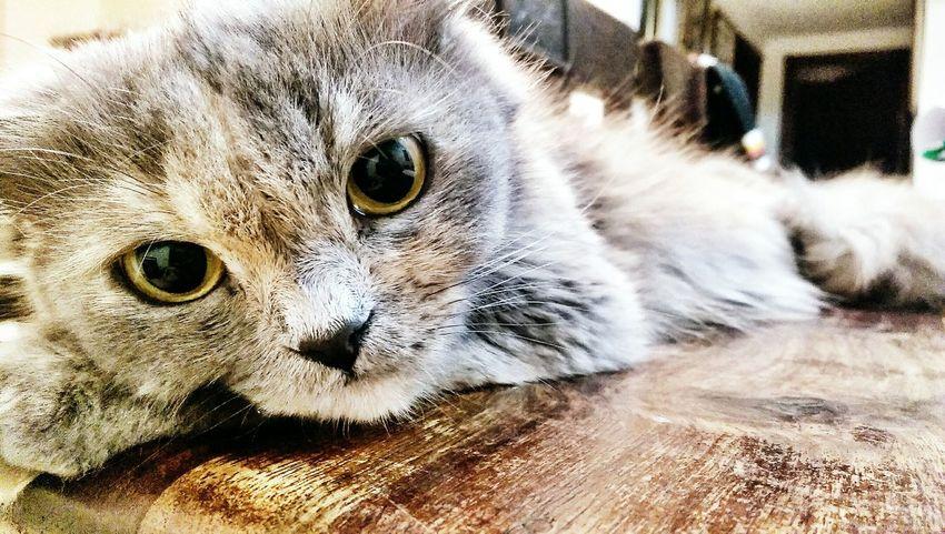 Zoyi! Pet Cat Furball Naughty Cat