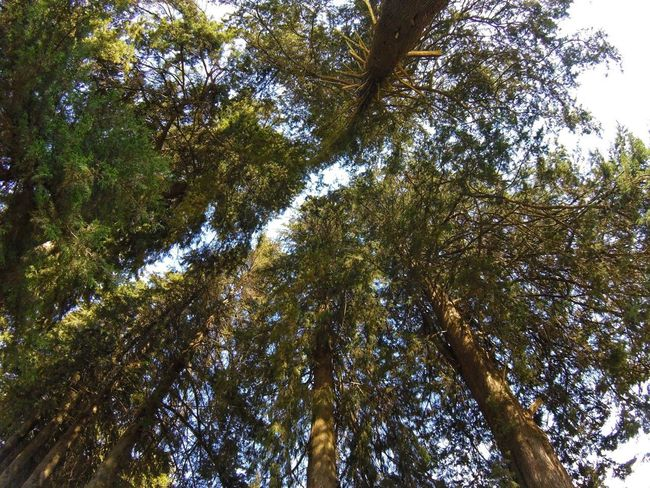 Tree Low Angle View Nature Growth Forest Beauty In Nature Tree Canopy  Tranquility Day Branch Outdoors Green Color Sky Tree Area Tree Trunk Scenics No People
