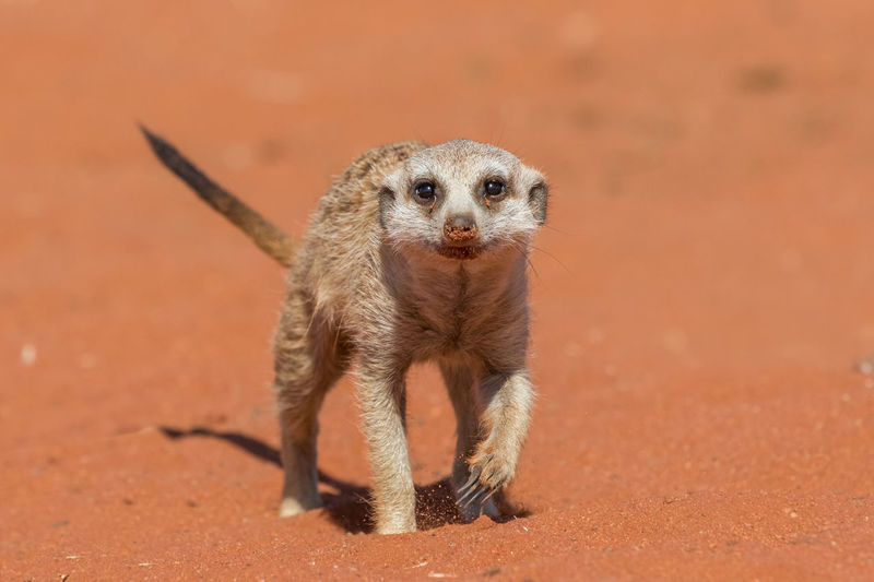 Close-Up Of Meerkat On Sand