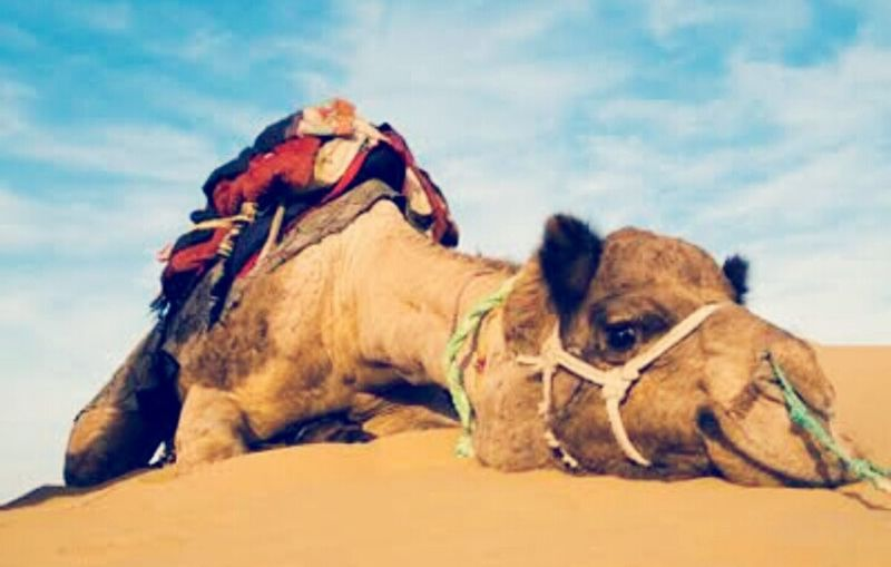 Deserts Around The World Thar Desert Camel Relaxing Moments