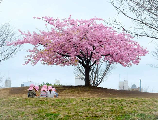 Spring gathering under cherry blossom Tree Cherry Blossom Flower Cherry Tree Blossom Pink Color Branch Men Nature Sky Beauty In Nature Springtime Real People Growth Kids Being Kids Kidsphotography Kids Playing Keep  Kids Having Fun Group Of People Kindergarten Outdoors Clear Sky