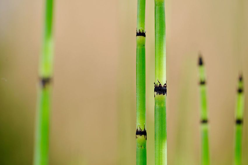 Wetland Plant Water Plant Moist Habitat Perennial Herb Equisetum Hyemale Rough Horsetail Botany Close-up Focus On Foreground Green Color Nature Plant Day No People Outdoors