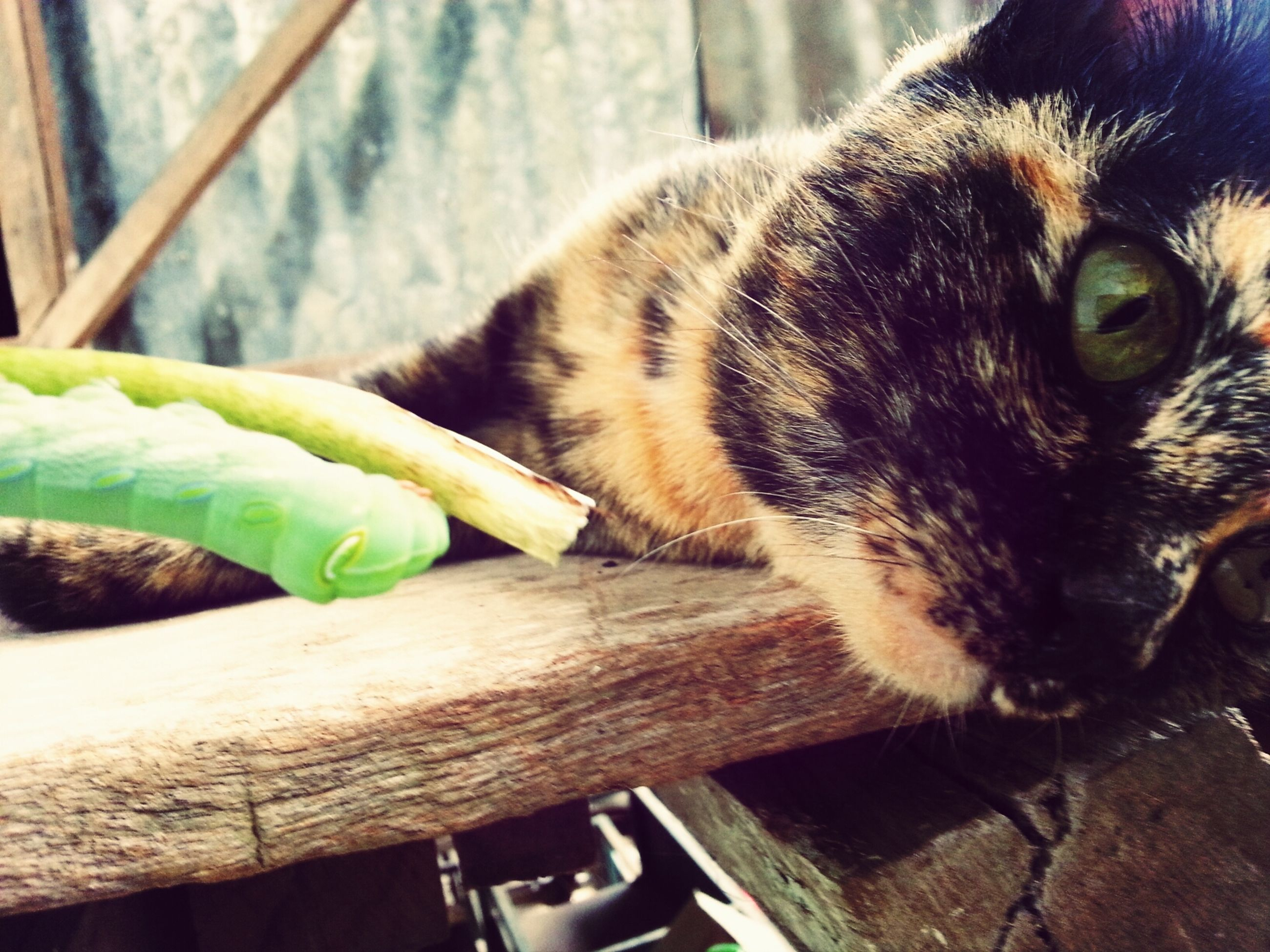 one animal, animal themes, pets, domestic cat, mammal, domestic animals, cat, feline, whisker, close-up, relaxation, focus on foreground, indoors, lying down, animal head, day, resting, wood - material, high angle view, no people