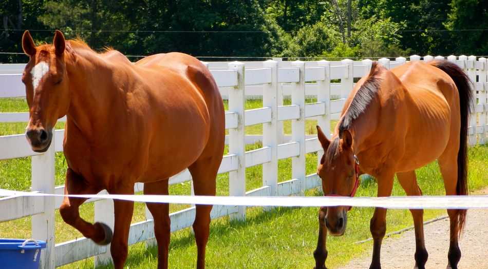 Almost there bro Background Bright Brown Close-up Day Fence Grass Grassy Green Headed Out Herbivorous Horse Horses Image Legs Looking No People Outdoors Photo Picture Reddish Scene Trees Two Walking