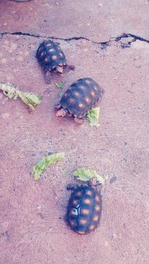 Turtle Tartaruga Littleturtle Tartaruguinhas Tartarugas Turtles Animal Animal Photography Animaisdomesticos Animaisfantasticos Animal Love Tartaruga Di Terra Turtle Cuteness SantaLúcia-SP