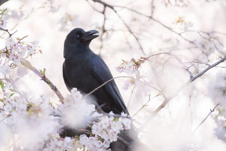 black hanami