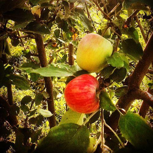 яблоко яблоня яблочки дерево фкукты Природа лето Summer Nature Apple Wood Fruit