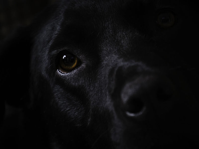 Black Labrador face softly lit by minimal window light. Sharp on the eye. Lovely portrait. Pets Domestic Animals One Animal Domestic Dog Canine Mammal Animal Animal Themes Black Color Animal Body Part Close-up Indoors  Portrait Animal Head  Looking At Camera Animal Eye Labrador Retriever No People Dark Black Background Purebred Dog Snout Animal Nose