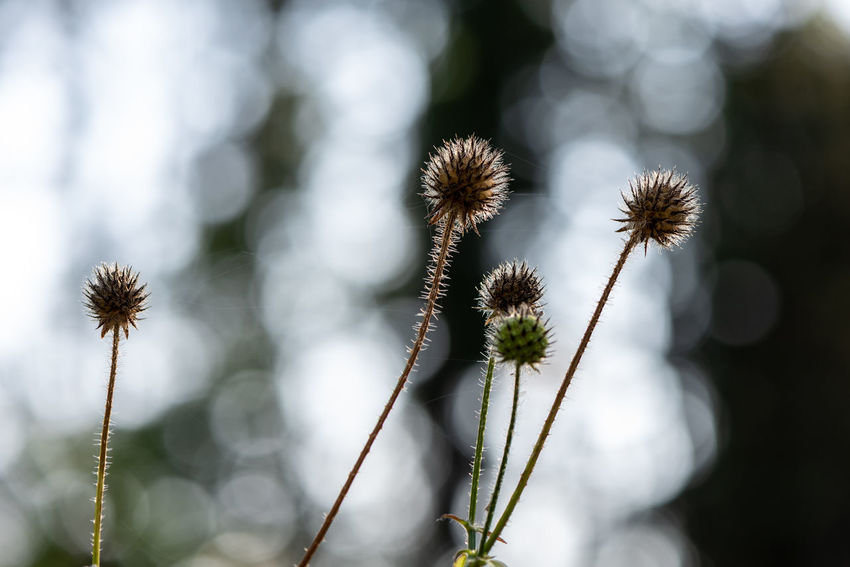 Plant Flower Growth Close-up Flowering Plant Nature Beauty In Nature Fragility Selective Focus Tranquility Freshness Vulnerability  Plant Stem Outdoors Botany Sunlight Spiked Spiky Thistle Flower Head Nature Photography Bokeh Abstract Natural Beauty Intricacy