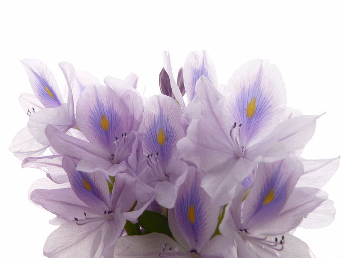 Common Water Hyacinth,Water Hyacinth Common Water Hyacinth Water Hyacinth Bloom Water Hyacinth Aleq Beauty In Nature Close-up Cut Out Flower Flower Head Flowering Plant Fragility Freshness Growth Indoors  Inflorescence Nature No People Petal Plant Pollen Purple Studio Shot Vulnerability  Water Hyacinth Flower White Background