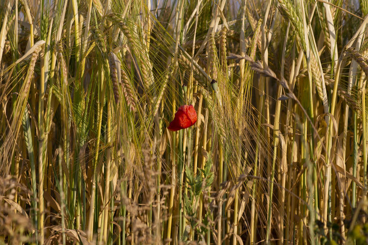 Close-up of red flowering plant in field