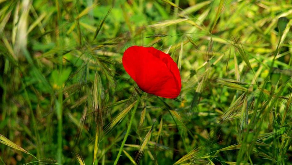 Red Nature Growth Grass Plant Flower No People Green Color Beauty In Nature Field Poppy Day Outdoors Close-up Fragility Flower Head Freshness EyeEmNewHere EyeEm Diversity Beauty In Nature Long Goodbye Le Var