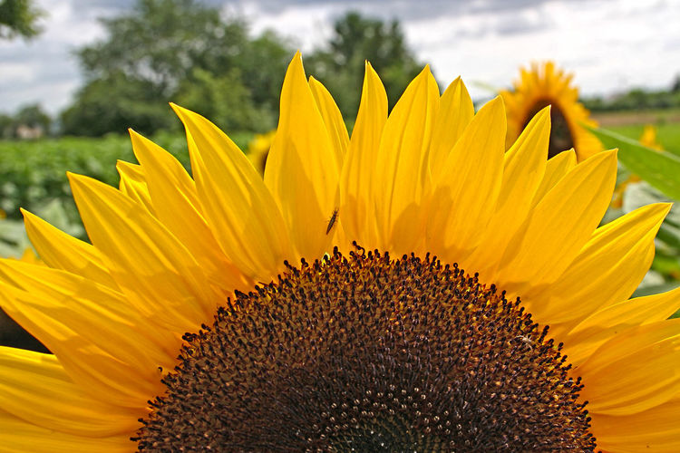 Close-up of sunflower blooming on field against sky