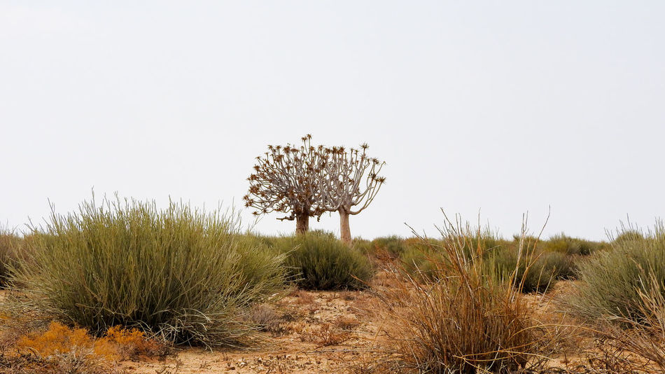 Quivertrees in Southern Namibia Arid Climate Beauty In Nature Clear Sky Countryside Day Footpath Grass Growth Landscape Nature Non-urban Scene Outdoors Plant Quivertree  Remote Scenics Single Tree Sky Solitude Tourism Tranquil Scene Tranquility Uncultivated Vacations Wilderness Area
