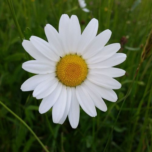 Daisy Margerite Marguerite Flower Blume Nofilter Nature Petal Blossom Blüte The Essence Of Summer