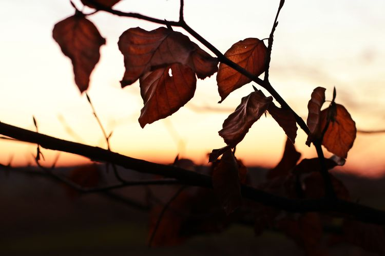 Close-up of dry leaves against sky during sunset