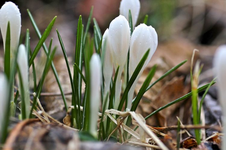 Beauty In Nature Crocus Flower Head Fragility Nature Plant White Color