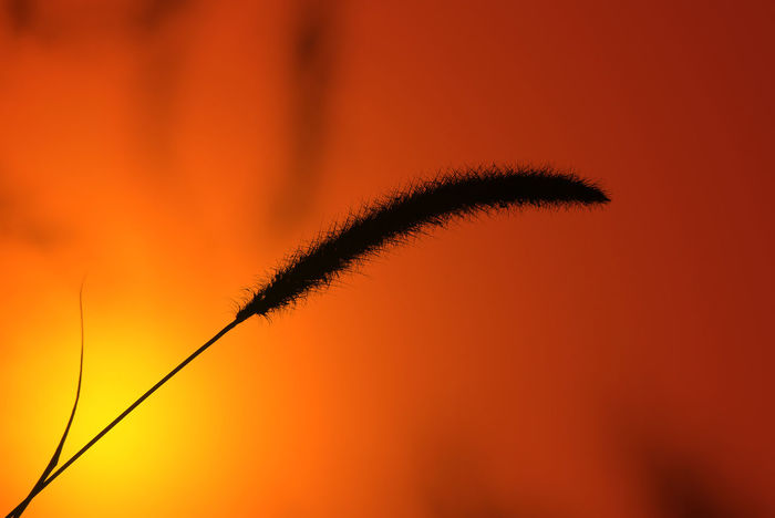 A simplistic shot of grass seed in silhouette against a golden yellow sunset. Beautiful EyeEm Ready   Golden Grass Seed Icon Nature Orange Seed Silhouette Background Beauty In Nature Close-up Dusk Fragility Growth Inspire Minimalism Nature Outdoors Screen Saver Simplistic Sky Softness Sunset Yellow