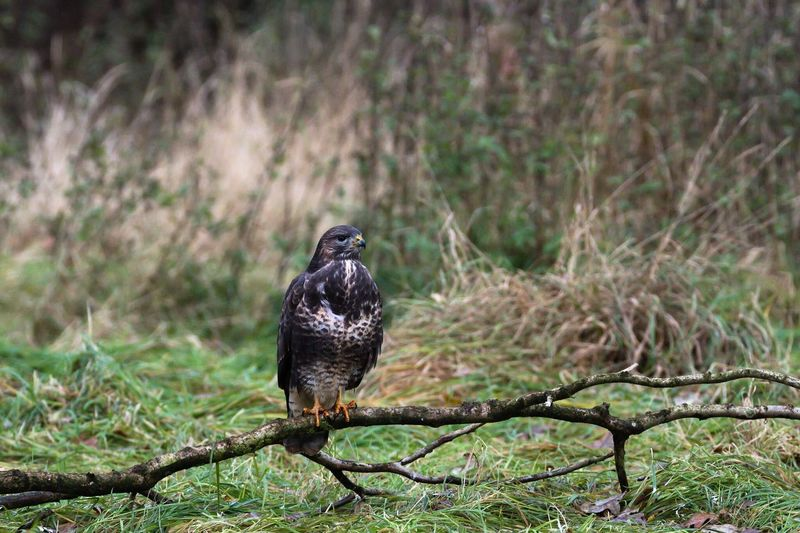 Scenic view of a buzzard perching on ground