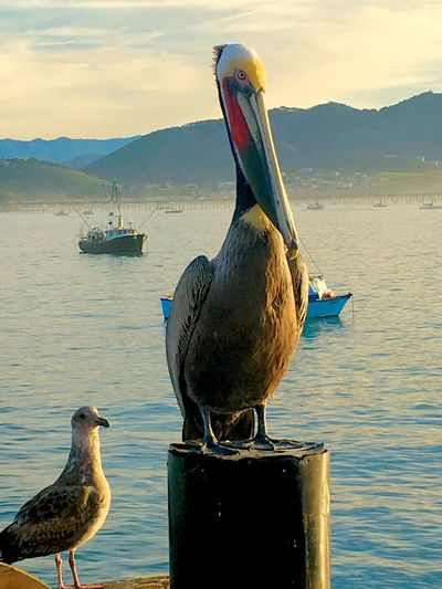 Pelican Avila Beach CA Bird Animal Themes Wildlife Animals In The Wild Perching Water Sea Bird Close-up Beak Water Bird Nature Ocean Sea Beach Fresh On Eyeem