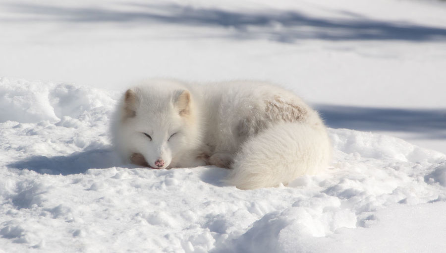 White cat lying on snow covered landscape