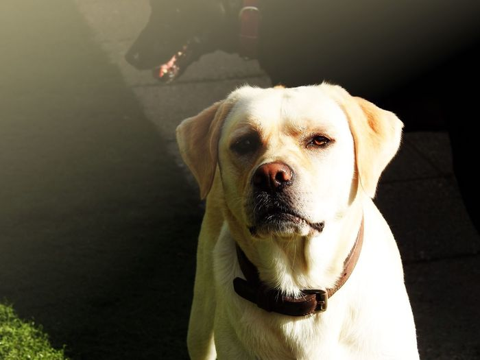 Dog Pets One Animal Domestic Animals Animal Themes Mammal Looking At Camera Day Sunlight Outdoors Portrait Sitting Close-up Real People One Person Low Section People Lilymayparker.blogspot.be Lily May Parker Labrador
