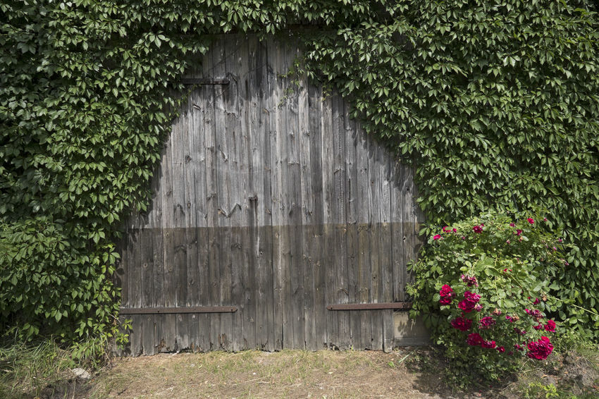 overgrown two-wing door at old wooden shed Locked Overgrown Architecture Beauty In Nature Building Exterior Built Structure Closed Closed Door Day Entrance Flower Flowering Plant Green Color Growth Hedge Leaf Lush Green Nature No People Outdoors Plant Plant Part Red Flowers Shabby Texture Two-wing Door Vintage Wood - Material
