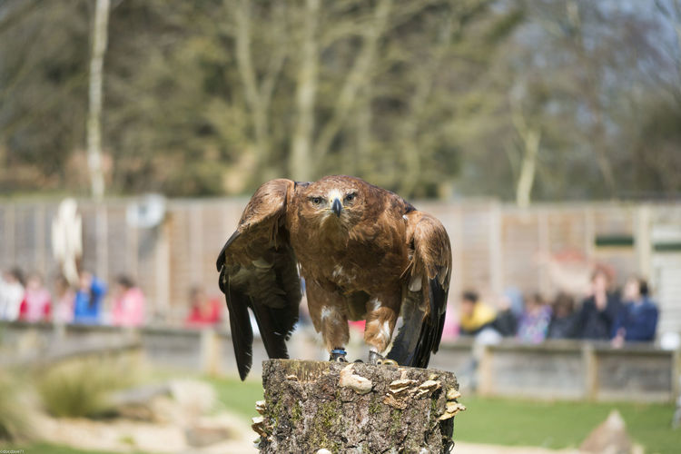 Portrait of golden eagle on tree stump