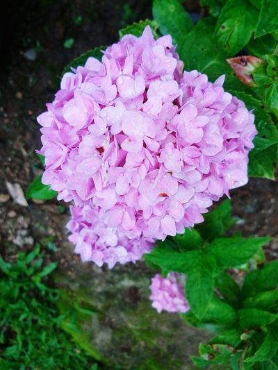 Flower Beauty In Nature Growth Flower Head Plant Fragility Pink Color Purple Blooming Close-up Outdoors Nature Hydrangea Petal Freshness Day No People Flower Photography Purpleflower Purple And Green