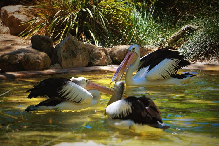 Birds Animal Planet Animal Themes Animals In The Wild Vertebrate Animal Wildlife Animal Bird Group Of Animals Water Nature No People Waterfront Beauty In Nature Pelican