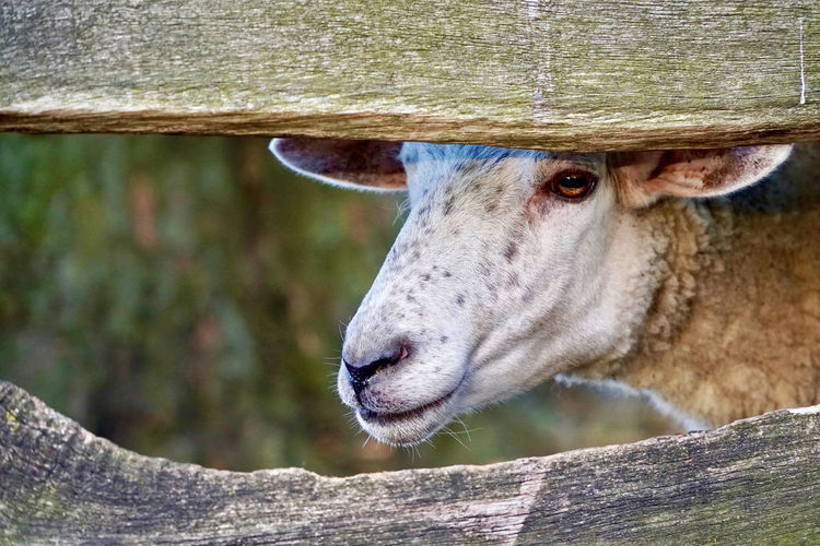 Sheep looking trough wooden fence Farm Animals Kopf Eines Schafes Schaf  Schafskopf Wooden Fence Close Up Close-up Countryside Curious Curious Animals Domestic Animals Farm Animal Farm Animal Close Up Farming Fence Schafe Selective Focus Sheep Sheep Head Sheeps Sheep🐑 White Sheep