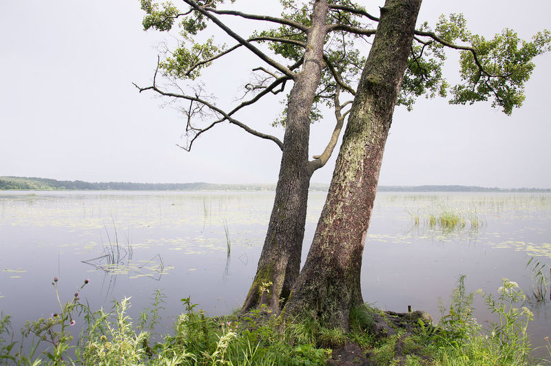 Plant Tree Water Tranquility Lake Beauty In Nature Tranquil Scene Scenics - Nature Nature Sky Growth Trunk Tree Trunk Day No People Branch Outdoors Non-urban Scene Clear Sky
