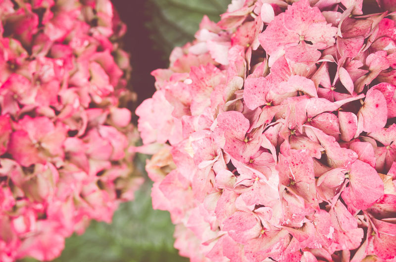 Close-up of pink hydrangeas blooming outdoors