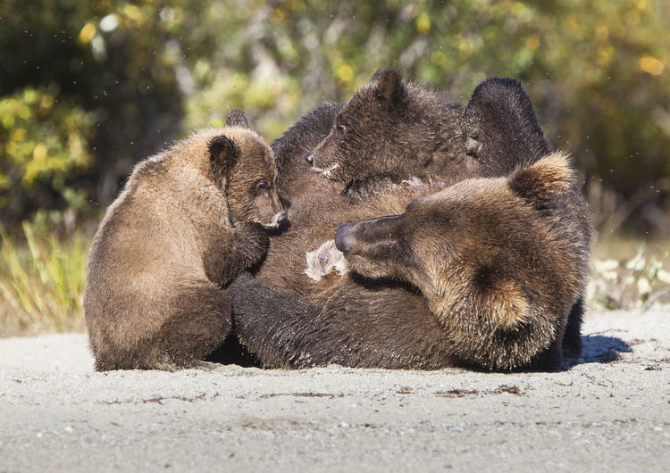 Brown bear with two cubs