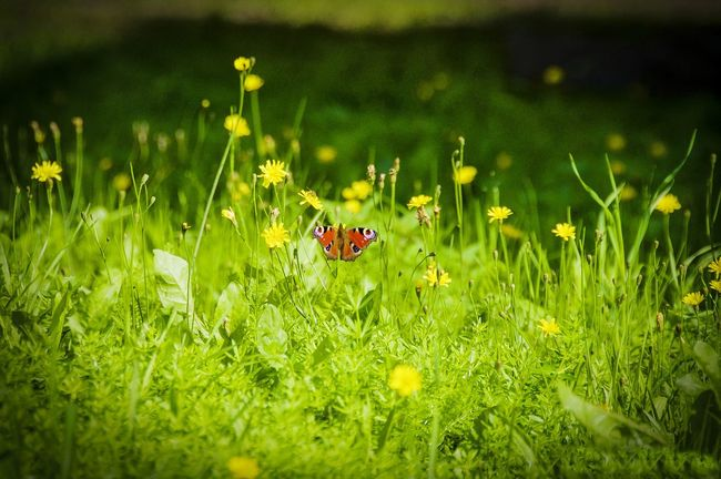 Grass Animal Wildlife Green Color Outdoors No People Nature Animals In The Wild Beauty In Nature Flower Day Animal Themes Summer Cantry Green Color Grass Greenhouse Colors Focus On Foreground Baterfly Yellow Flowers Yellow Color