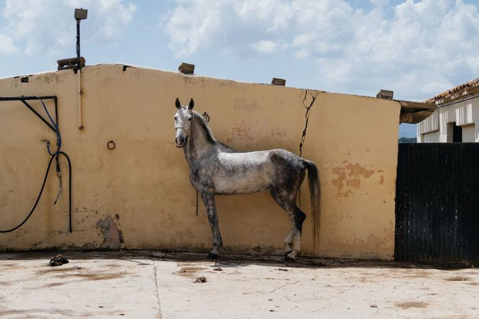 Horse standing against wall