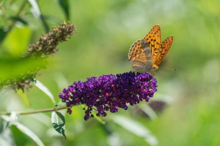 Butterfly on lilac Butterfly Colors Of Nature Nature Animals In The Wild Beauty In Nature Flower Insect One Animal Butterfly - Insect