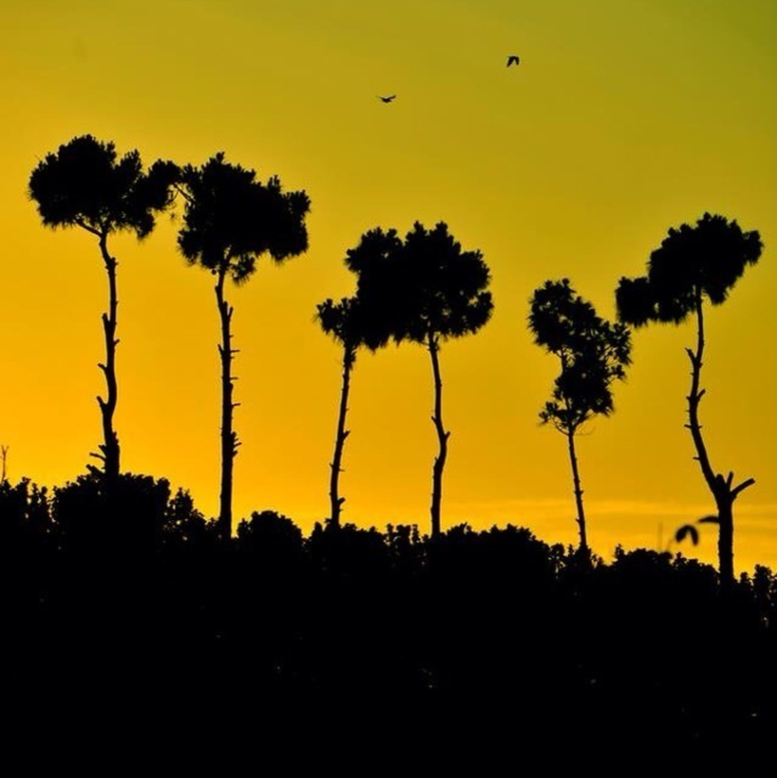 sunset, silhouette, orange color, tree, palm tree, beauty in nature, sky, scenics, tranquility, nature, tranquil scene, bird, flying, idyllic, growth, clear sky, low angle view, outdoors, no people, landscape
